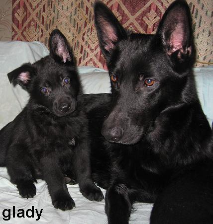 Купить щенка лабрадора недорого взять бесплатно в дар
