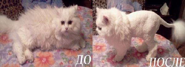 Фото стрижек пушистых кошек